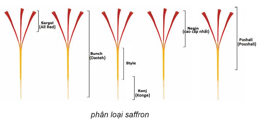 Phân loại saffron dựa vào độ dài - Nhụy hoa nghệ tây có mấy loại?