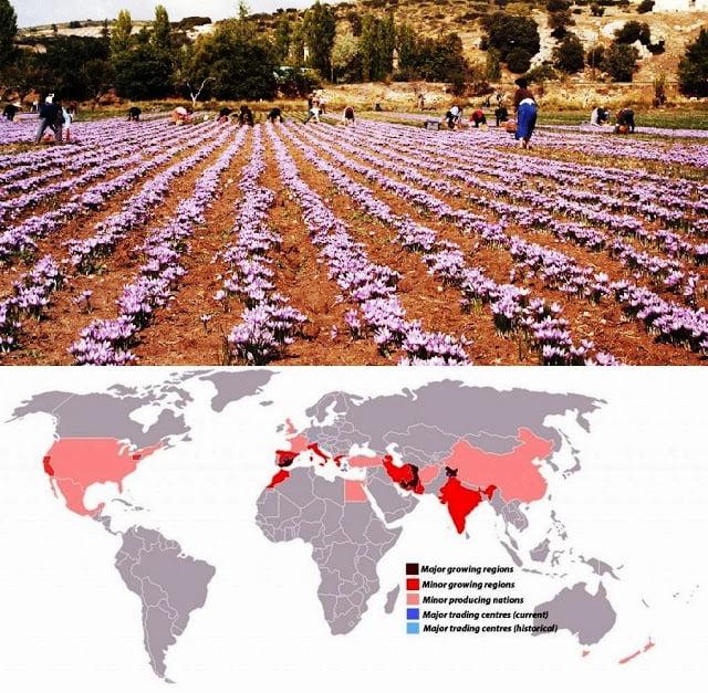 Những khu vực trồng saffron và thương mại saffron trên thế giới.