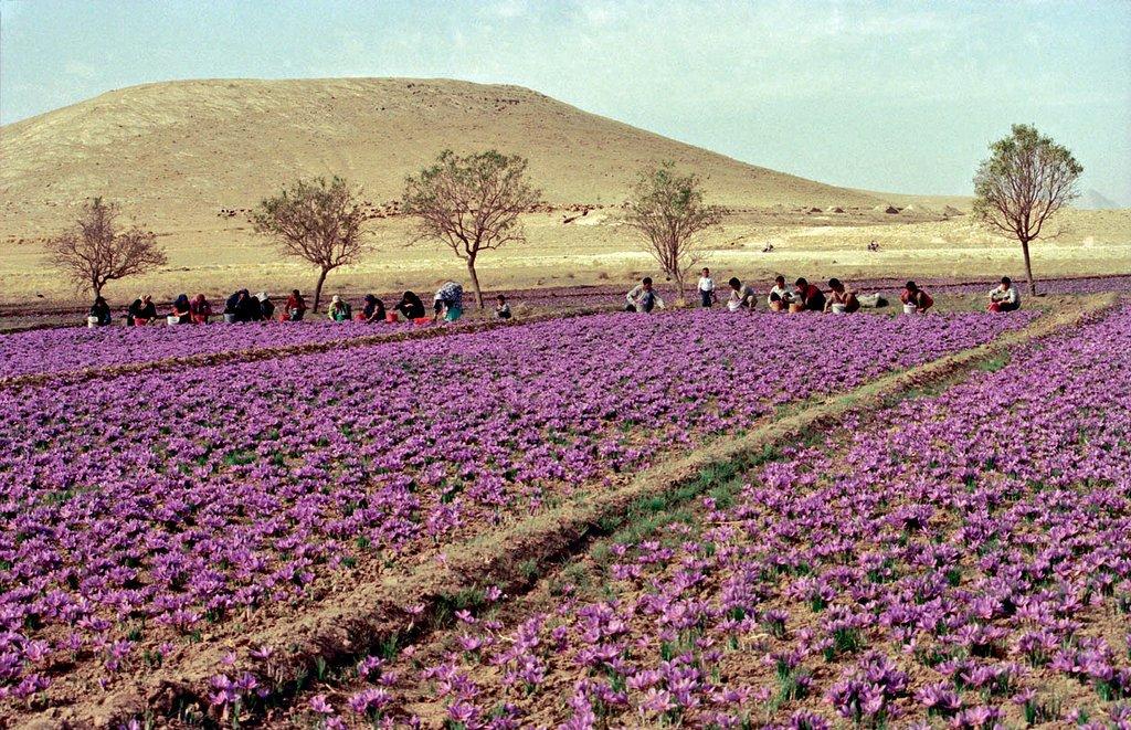 Cánh đồng saffron iran