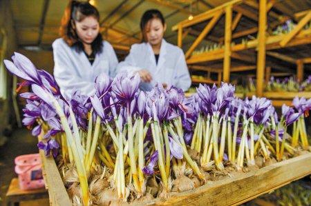 Saffron ở Trung Quốc được xếp thành nhiều tầng trong nhà
