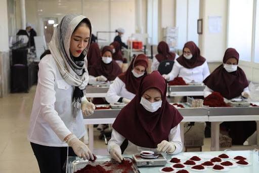 Người công nhân sẽ ngắt và phân loại chất lượng saffron