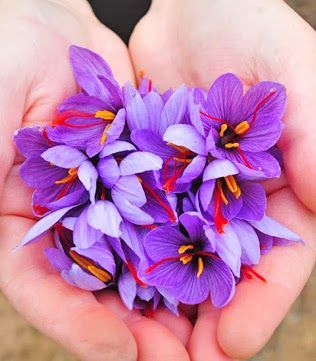 Những bông hoa nghệ tây vừa được thu hái có nguồn gốc từ Iran