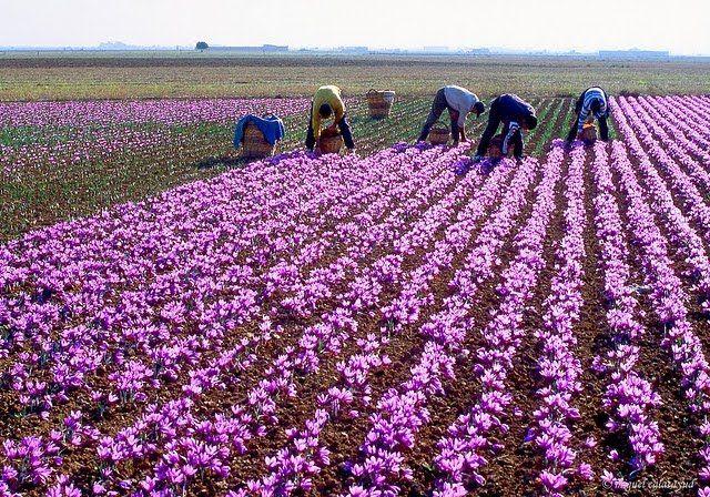 Người dân đang thu hoạch những bông hoa nghê tây